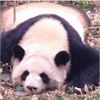 panda_pan