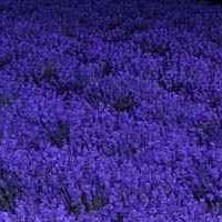 Lavender 。