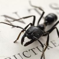 黑蚂蚁cc