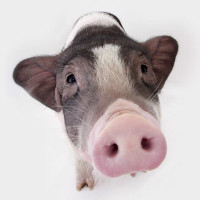猪大与猪二