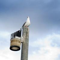 小白鸽的战斗鸽