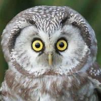 大眼睛的猫头鹰
