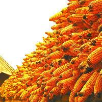 玉米的棒子
