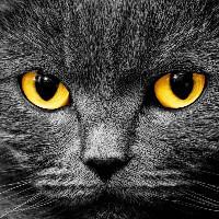 cat sir