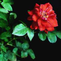 蔷薇花开设计