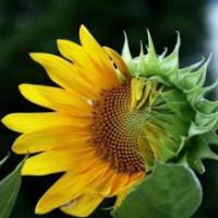 Arles的向日葵