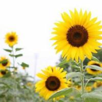 太阳花已被占用