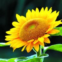 向日葵 design