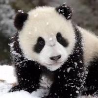 大熊猫Zion