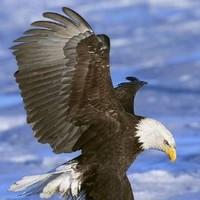 想飞的孤鹰