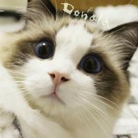 布偶猫日语翻译