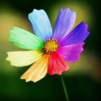 七色太阳花